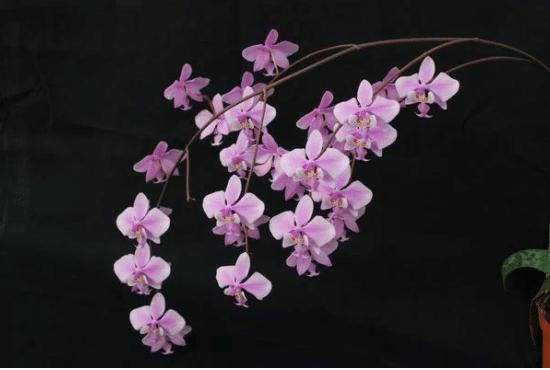 Bild einer Phalaenopsis schilleriana.